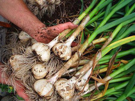 Выращивание чеснока в промышленных масштабах рентабельность