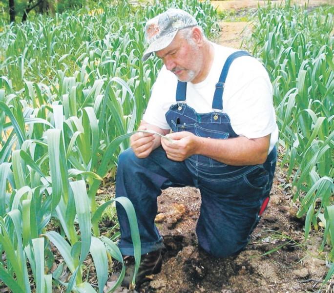 как выращивают чеснок в промышленных масштабах